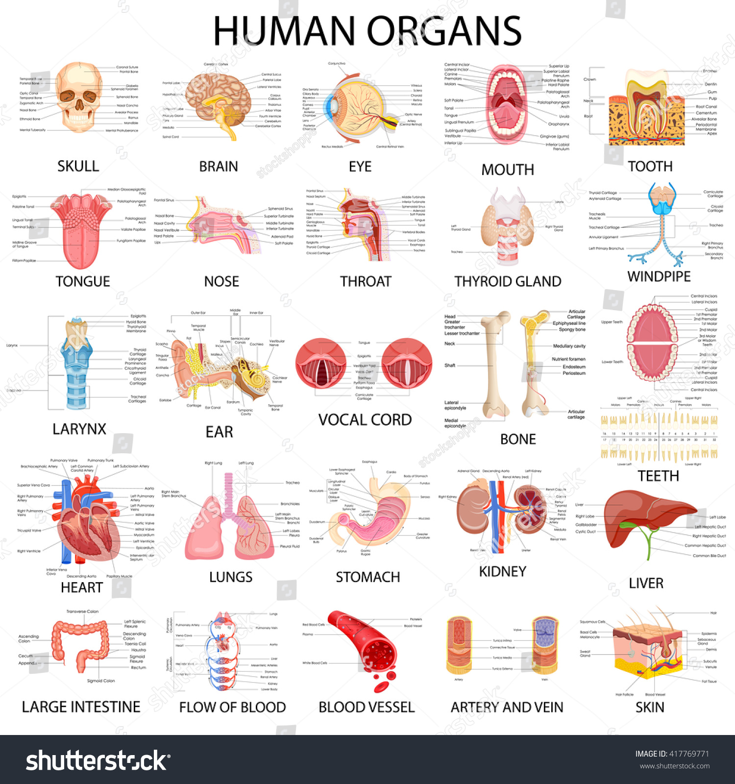 Vector Illustration Complete Chart Different Human Stock