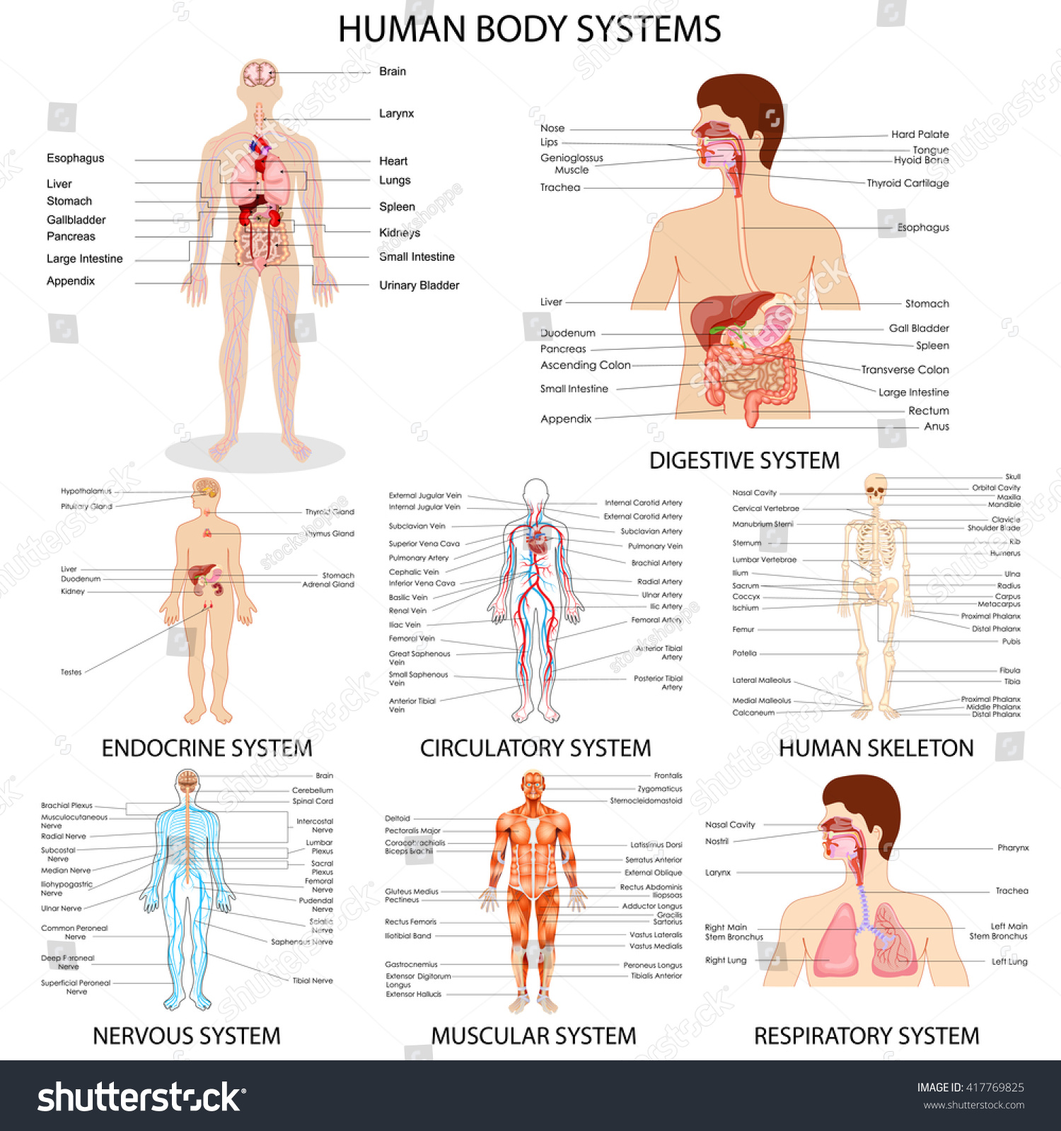 Vector Illustration Complete Chart Different Human Stock Vector ...