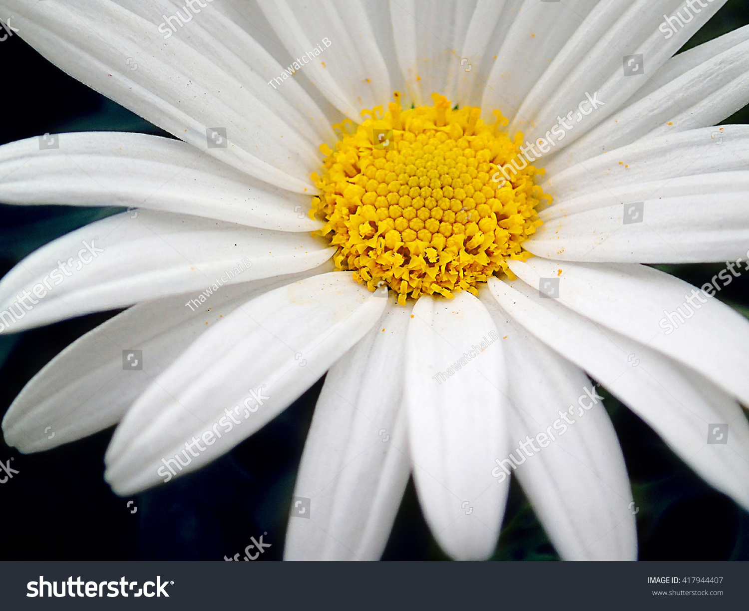 Macro Of White Cosmos Sonnata Daisy Flower On Black Background Ez