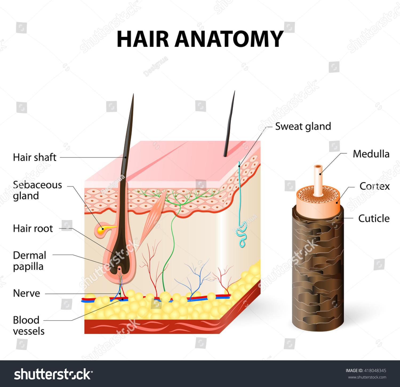 Hair Anatomy Stock Illustration 418048345 - Shutterstock