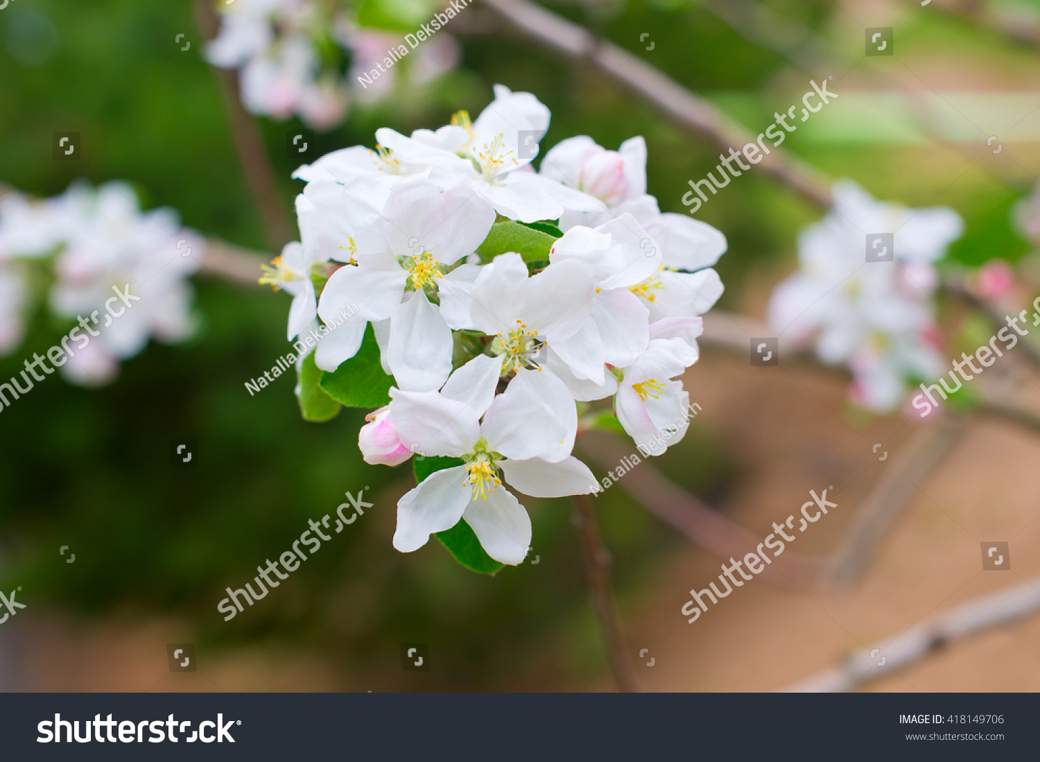 Beautiful Blooming Apple Tree Early Spring Stock Photo Edit Now