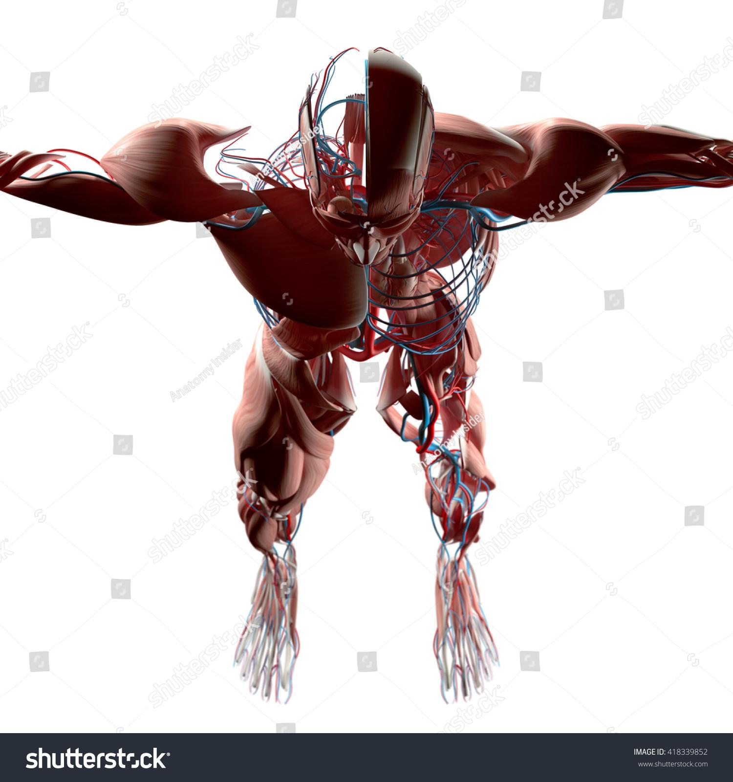 Human Anatomy Head Torso Muscle Arteries Stock Illustration