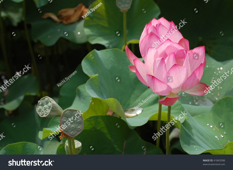 Lotus Lotus Root Stock Photo Edit Now 41843398 Shutterstock