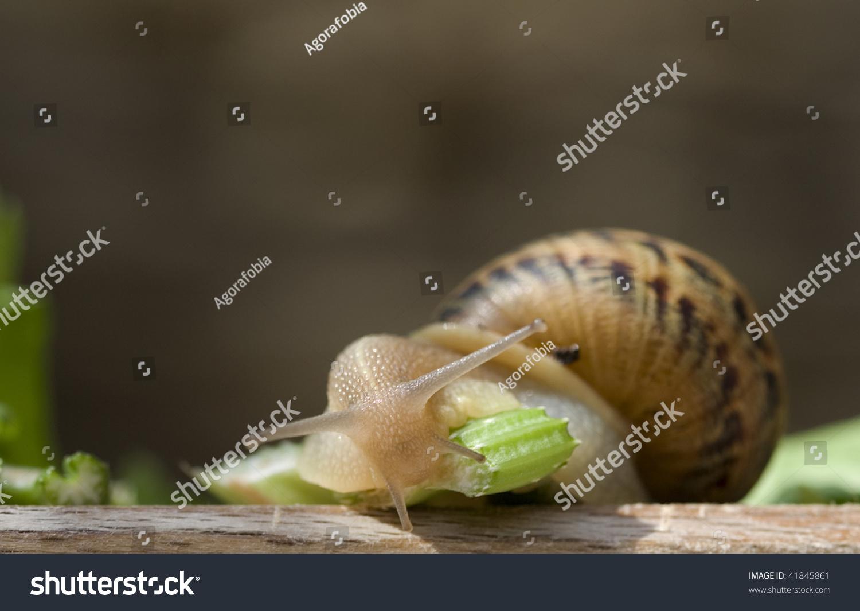 Snail Eating Celery Stock Photo (Royalty Free) 41845861 - Shutterstock