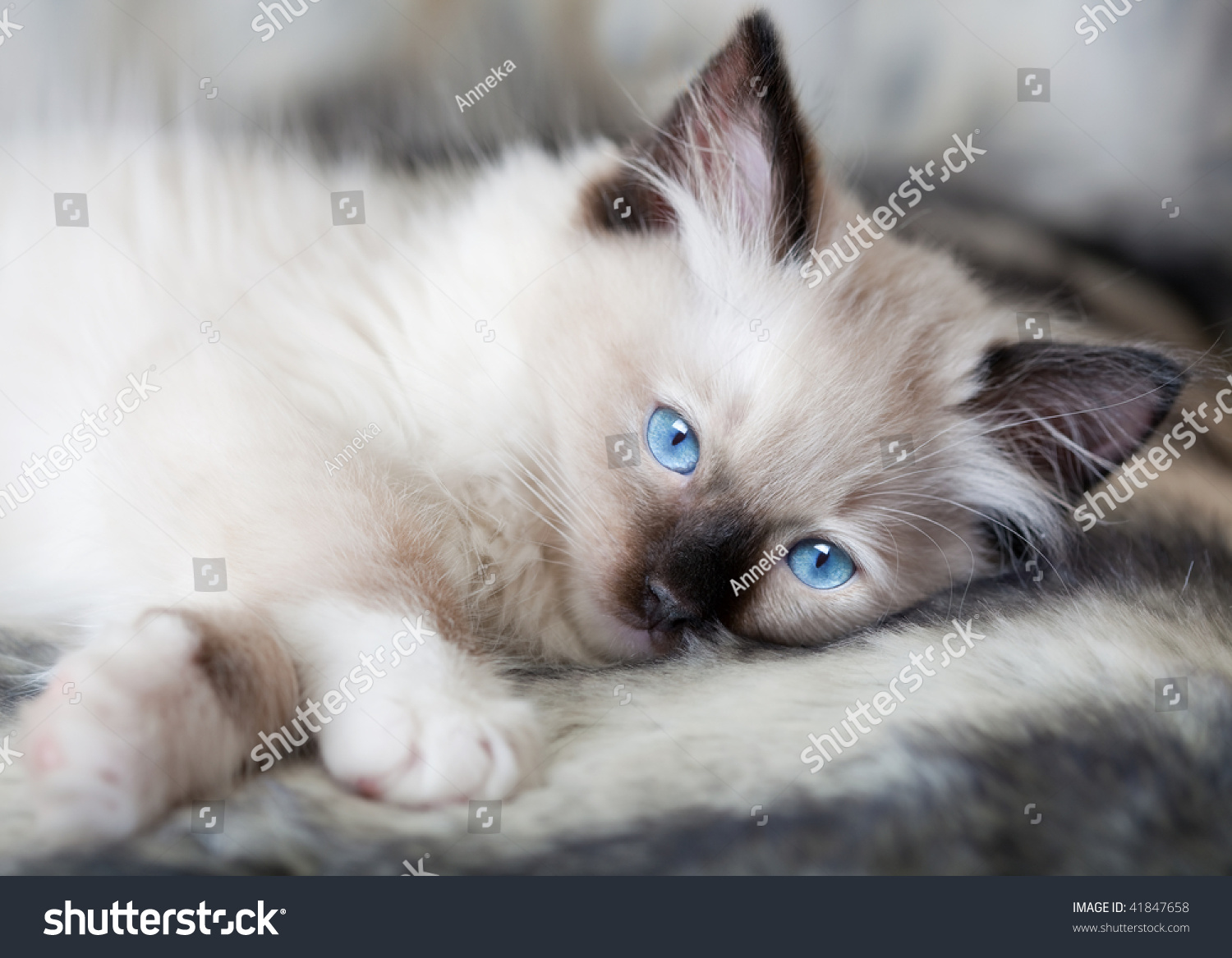 Seal Point Mitted Ragdoll Kitten Lying Stock