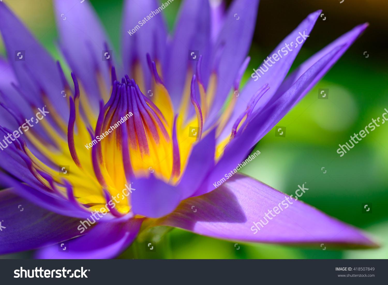 Violet Lotus Blooming In The Pond Purple Lotus Flower Ez Canvas