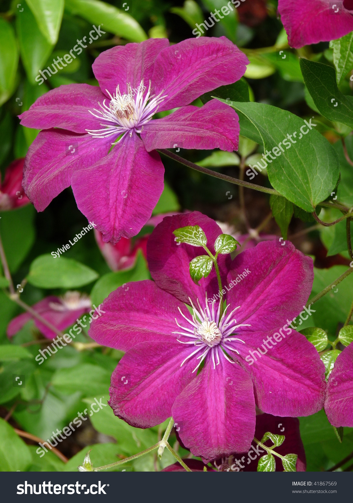 This Anna Louise Clematis Purple Red Color Stock Photo Edit Now