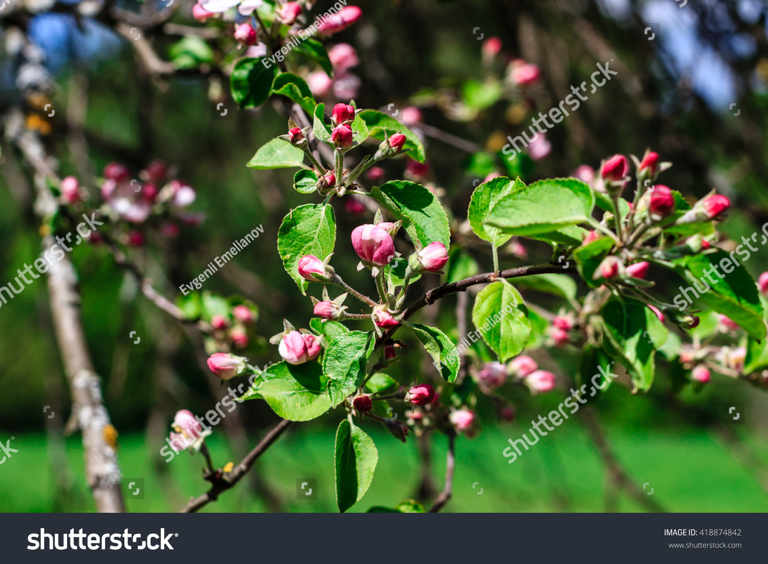 Flowers apple blossoms spring season may stock photo royalty free flowers of the apple blossoms at spring season may mightylinksfo Gallery