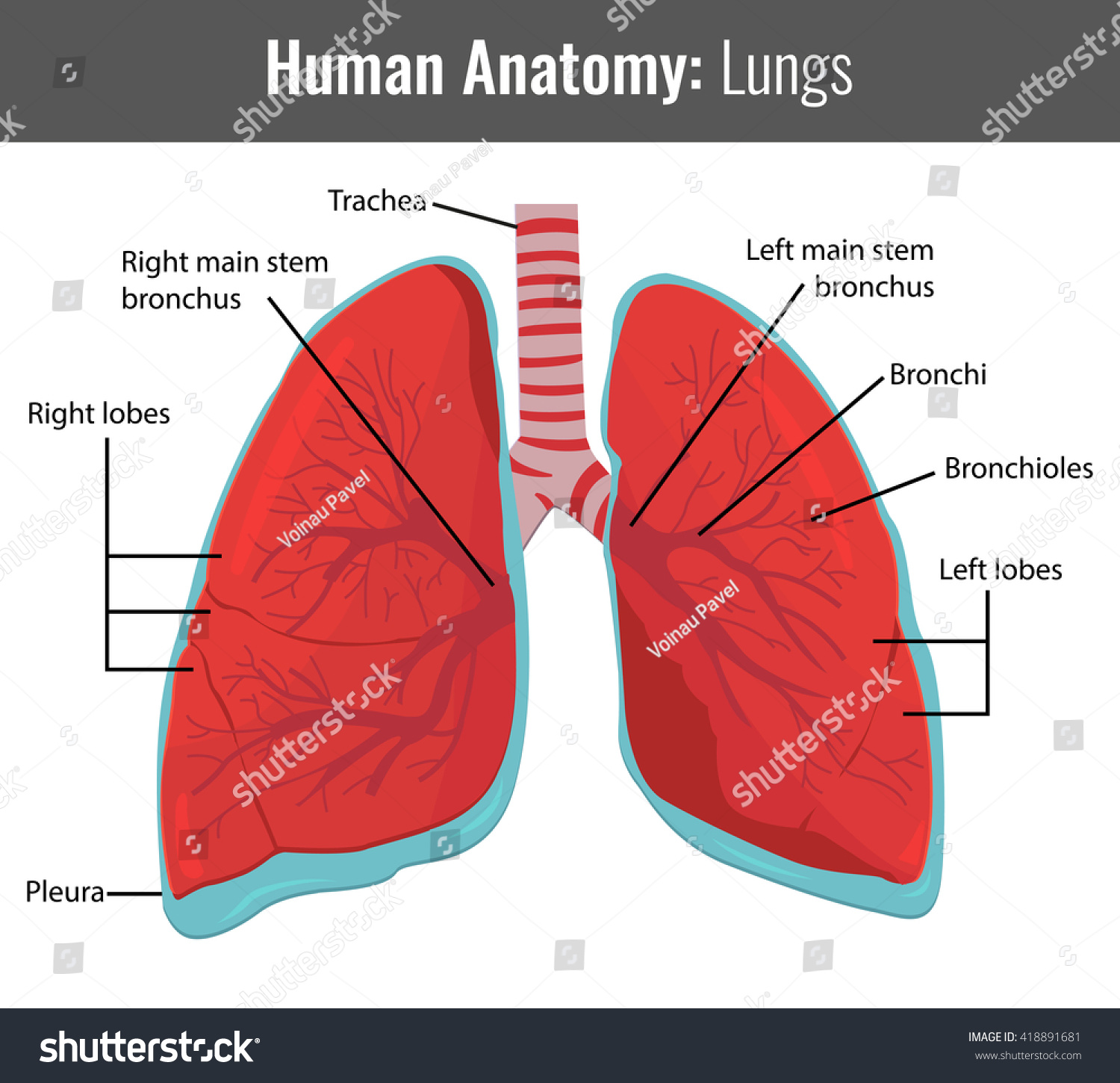 Human Lungs Detailed Anatomy Vector Medical Stock Vector 418891681 ...