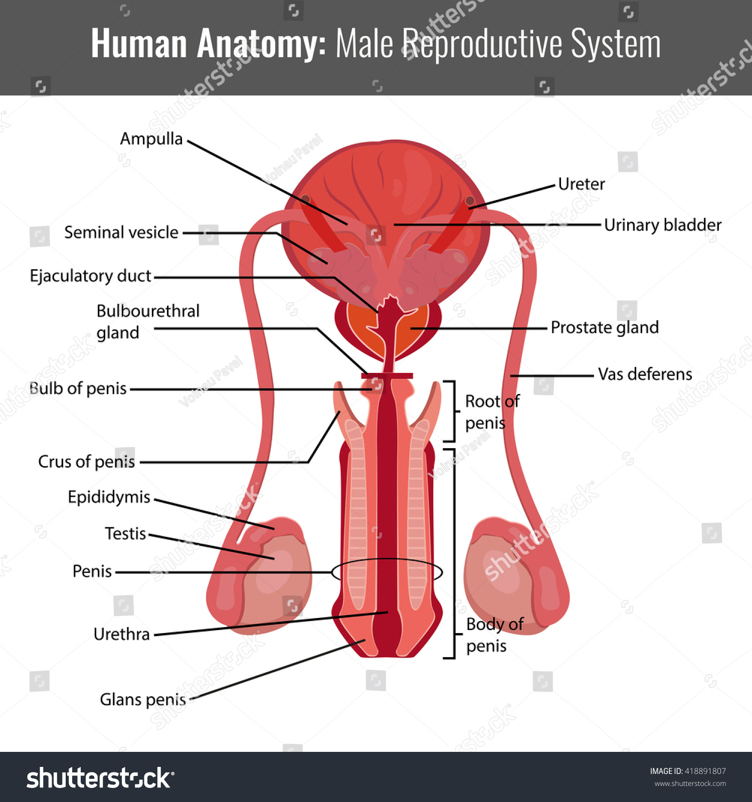 Male Reproductive System Detailed Anatomy Vector Stock Vector