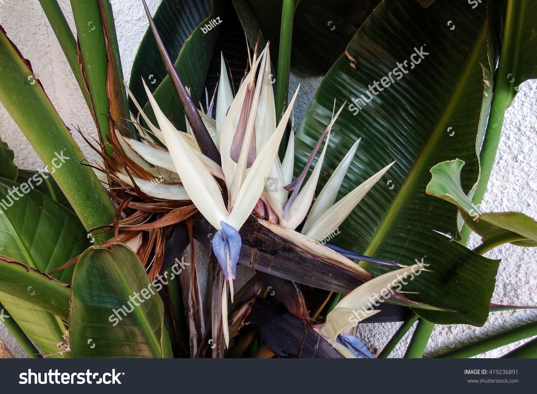 Beautiful White Bird Paradise Flower Stock Photo Edit Now