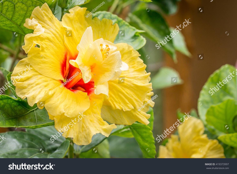 Close yellow hibiscus flowerpaper flowers hibiscus stock photo edit close up a yellow hibiscus flowerpaper flowers hibiscus rosa sinensisshoe izmirmasajfo