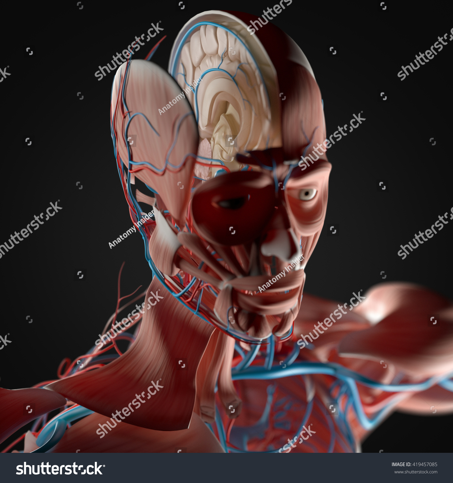 Human Anatomy Brain Cross Section 3 D Stock Illustration Royalty