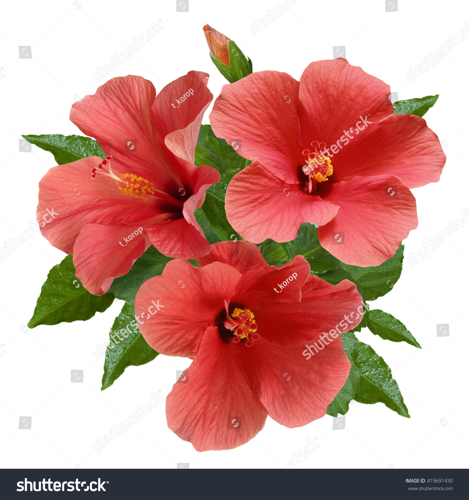 Bouquet Bright Large Pink Hibiscus Flowers Stock Photo & Image ...