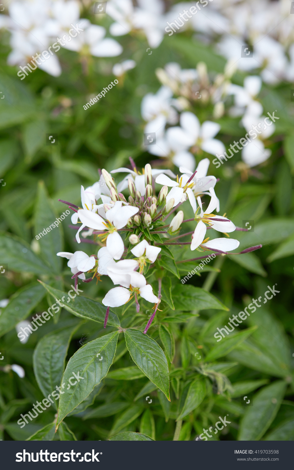 Cleome White Spider Flower And Leaves Ez Canvas