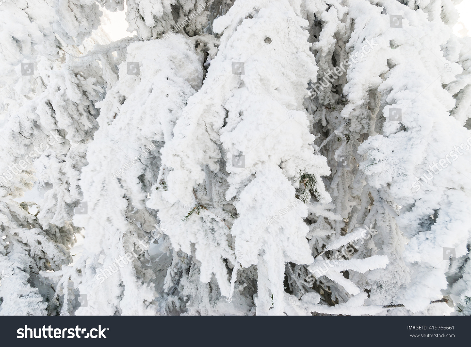 snowy forest white tree branches winter themed snowy frozen white pine tree branches stock photo 255