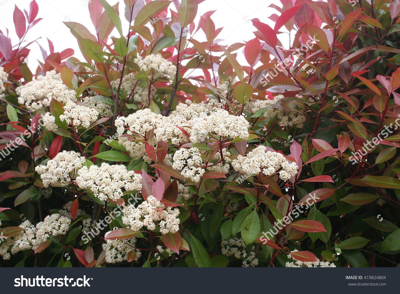 Photinia Hedge White Flowers Stock Photo (Edit Now) 419824804 ...