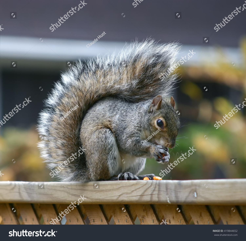 Grey Squirrel (Sciurus carolinensis) eats peanuts on top of a fence in a suburb.
