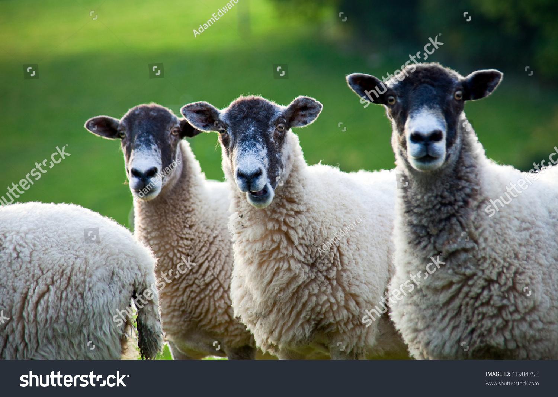 Three sheep - photo#5