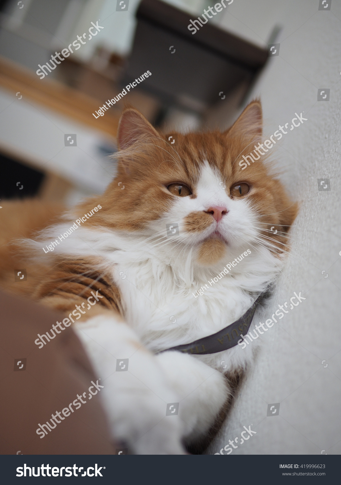 Orange Traditional Doll Face Persian Cat Stock