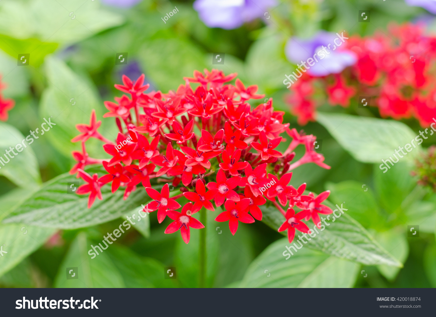 Egyptian star cluster red star flower stock photo edit now egyptian star cluster red star flower izmirmasajfo