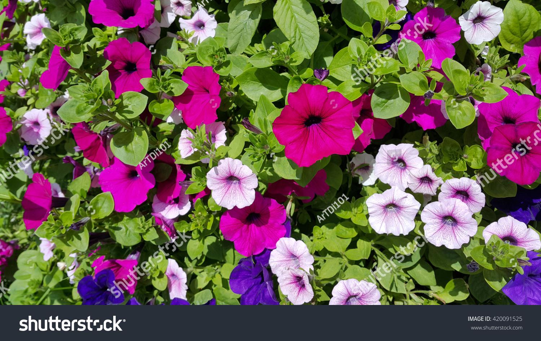 Flowers petunia natural bright background stock photo image flowers of petunia natural bright background izmirmasajfo