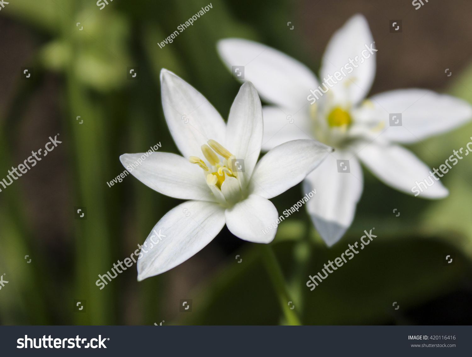 White Flower With Six Petals And A Yellow Center Against A Dark