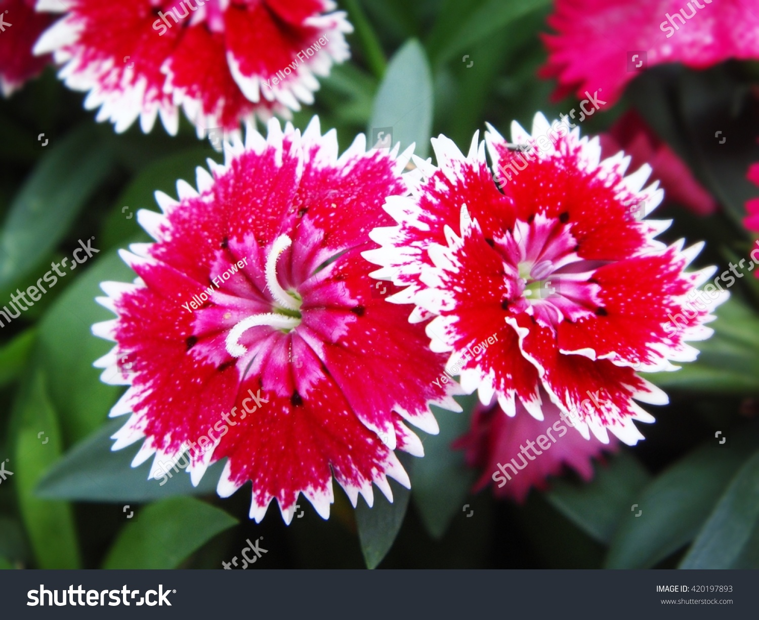 Dianthus Chinensis China Pink Flowers Stock Photo Edit Now