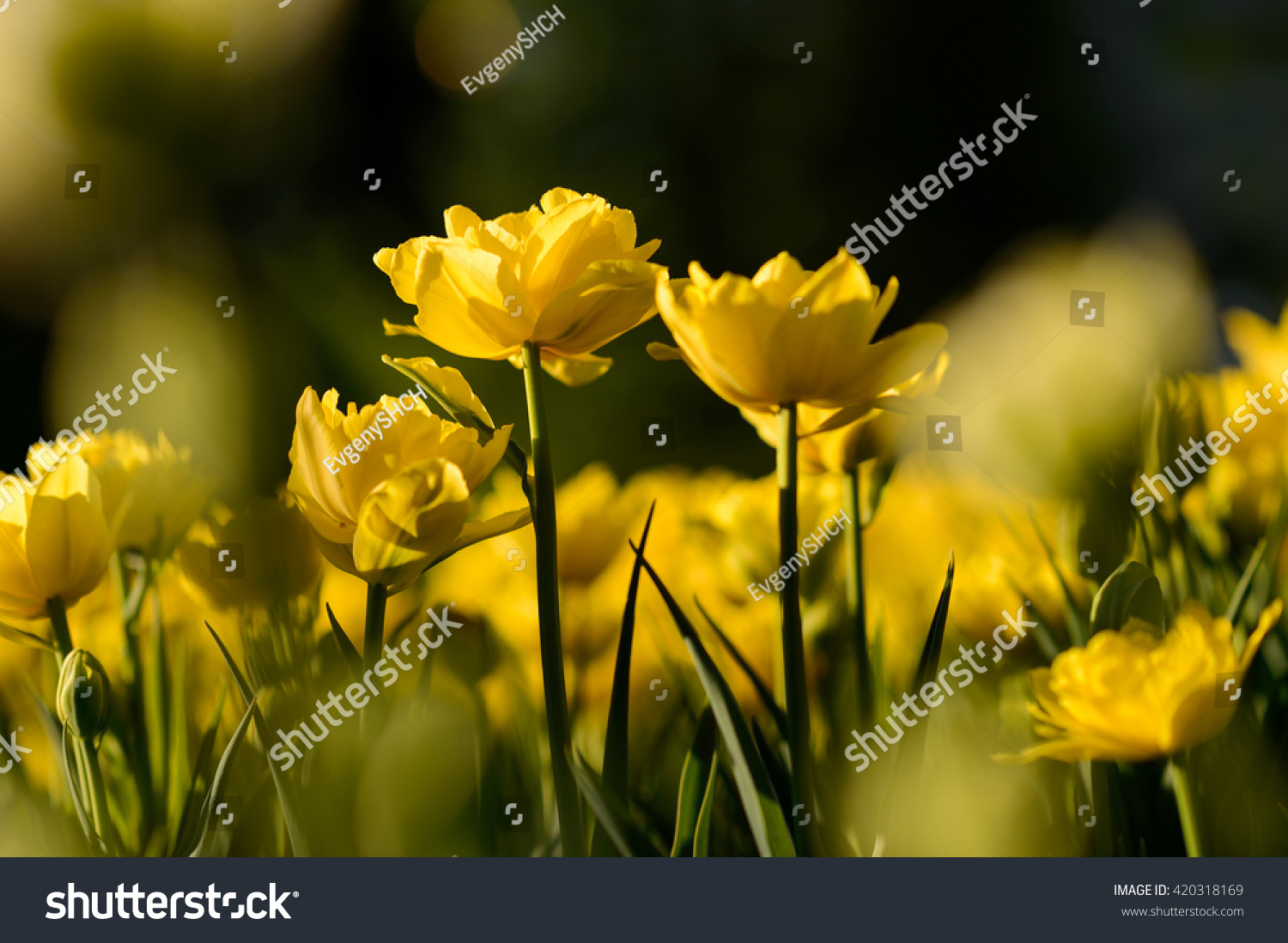 Amazing View Colorful Yellow Tulip Flowering Stock Photo Royalty