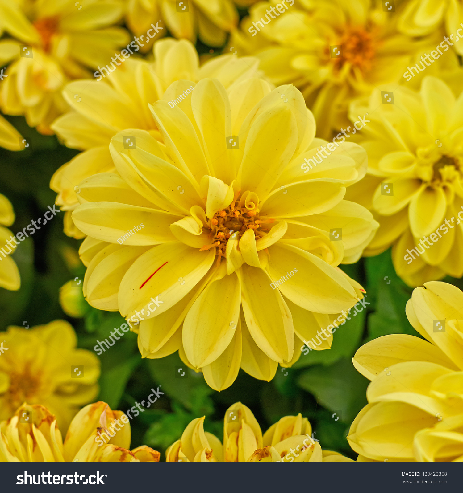 Yellow dahlia flower closeup in the garden ez canvas id 420423358 izmirmasajfo