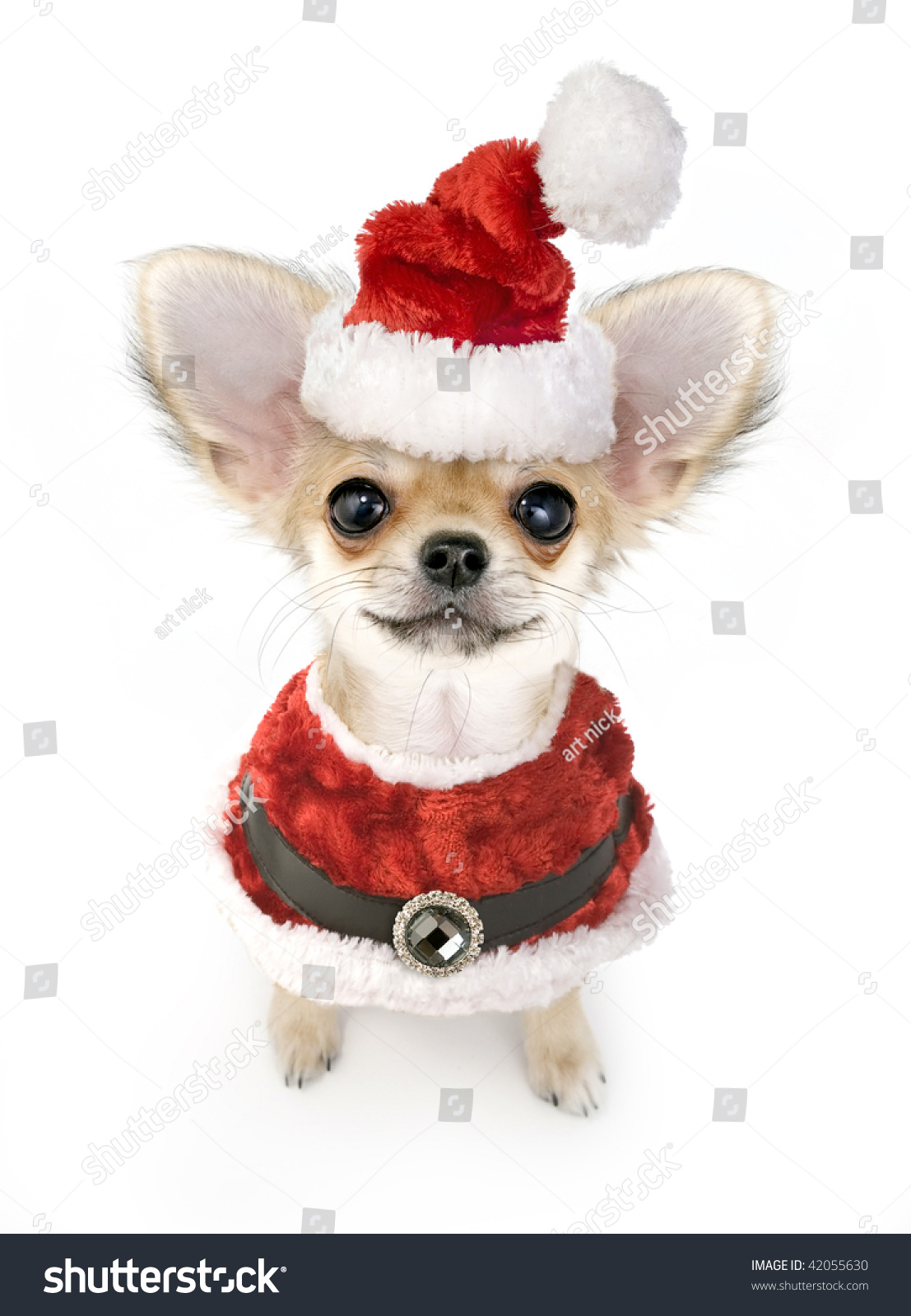 christmas chihuahua puppy santa costume isolated stock