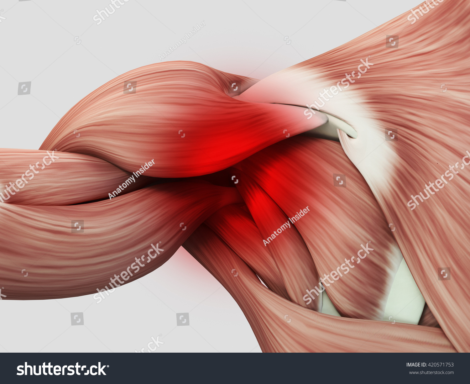 Human Anatomy Muscle Shoulder Pain Injury Stock Illustration ...