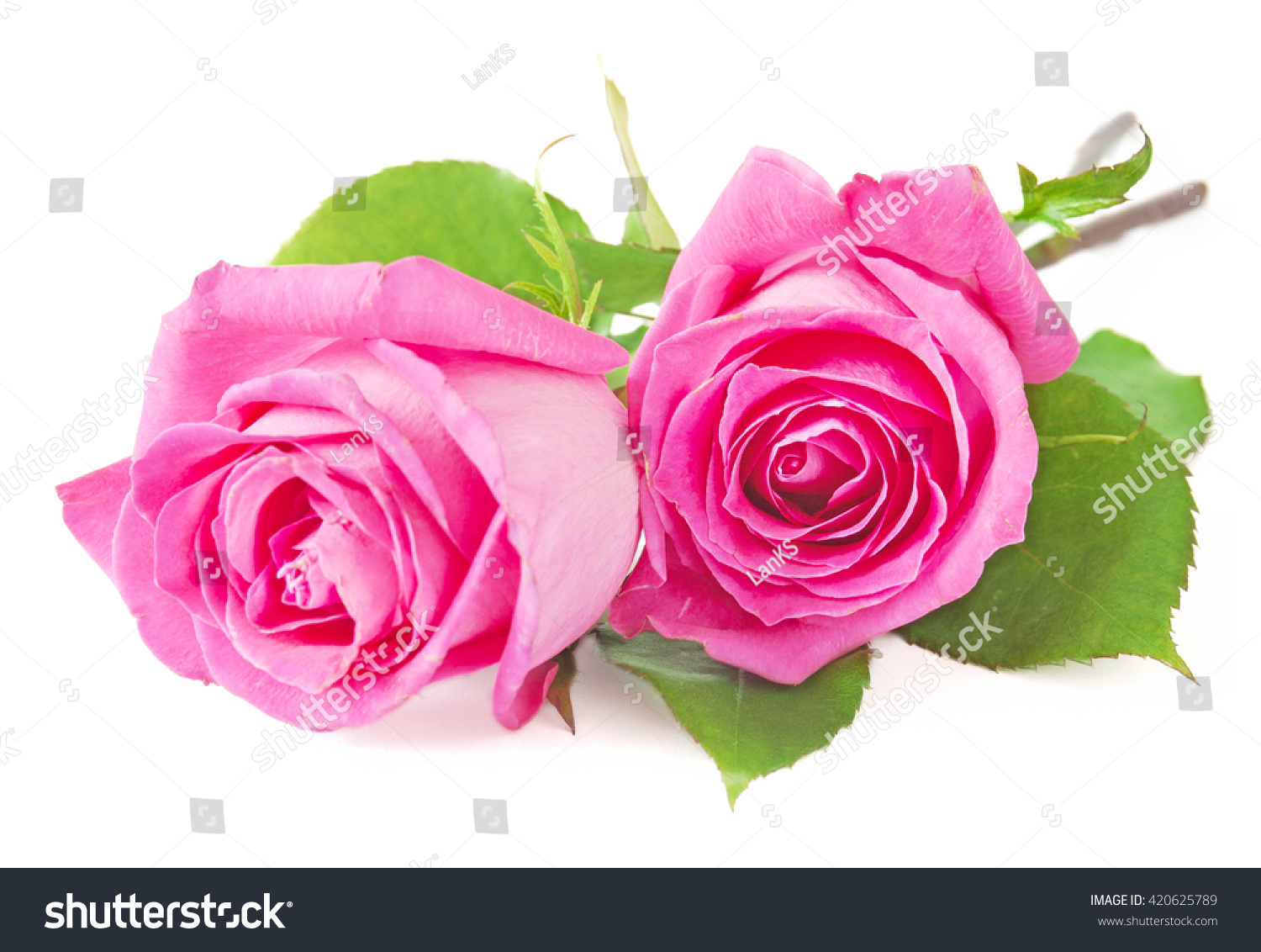 Pink Rose Flowers Bunch Isolated On Stock Photo 420625789 White