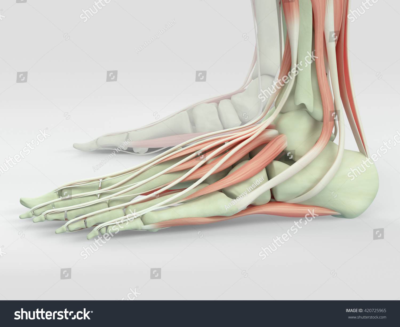 Human Anatomy Foot 3 D Illustration Stock Illustration 420725965