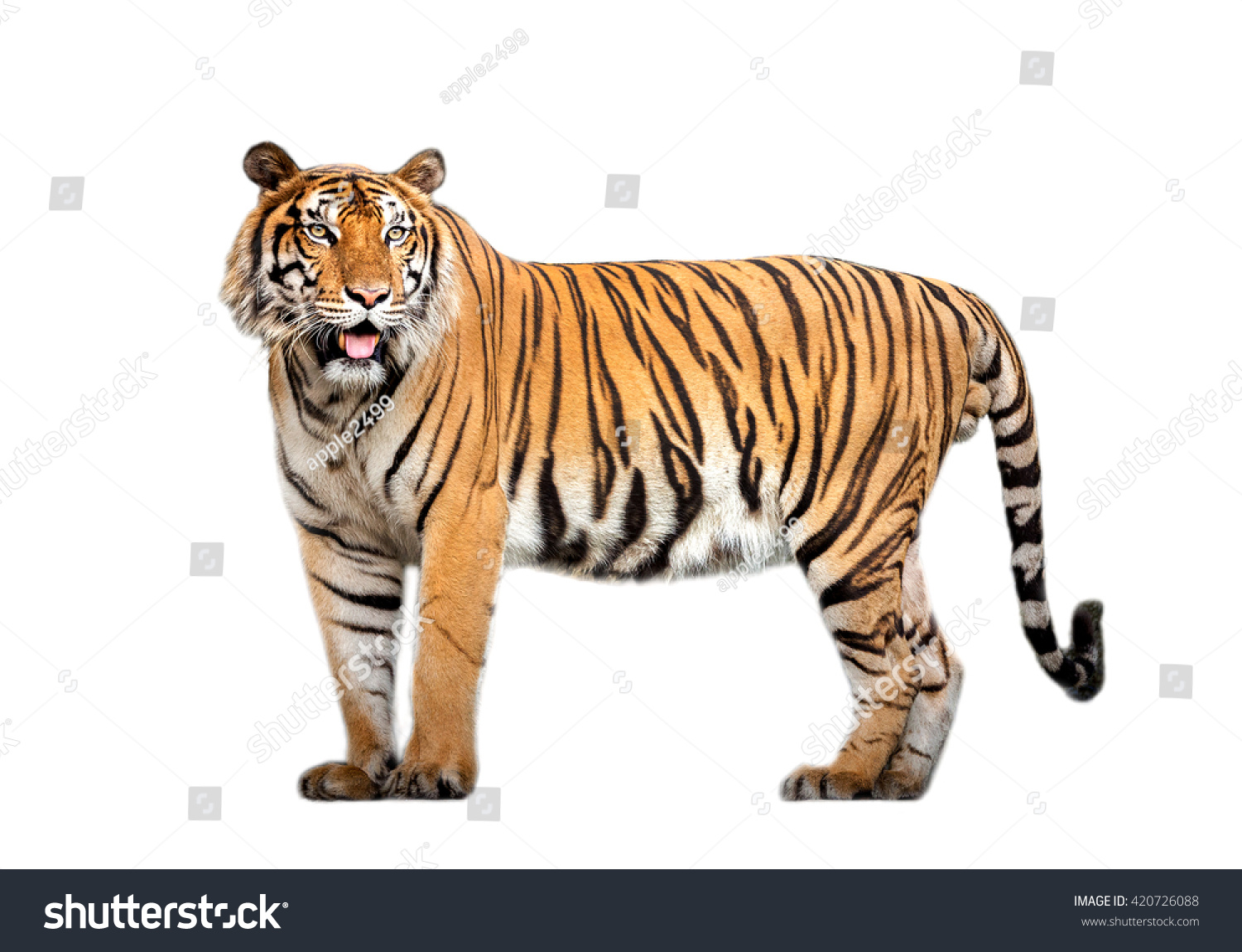 tiger action #420726088