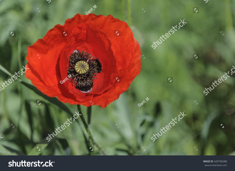 Red Poppy Flower Bud Full Bloom Stock Photo Royalty Free 420796588