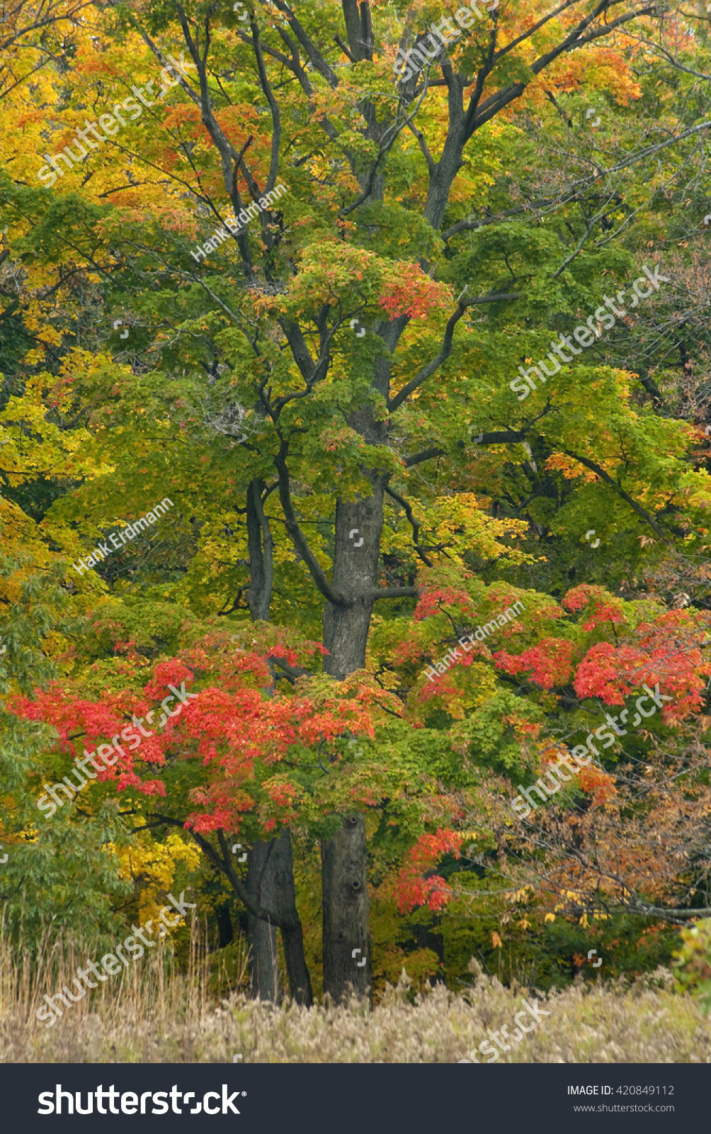 Maple Trees Show Off Their Brilliant Stock Photo 420849112 ...