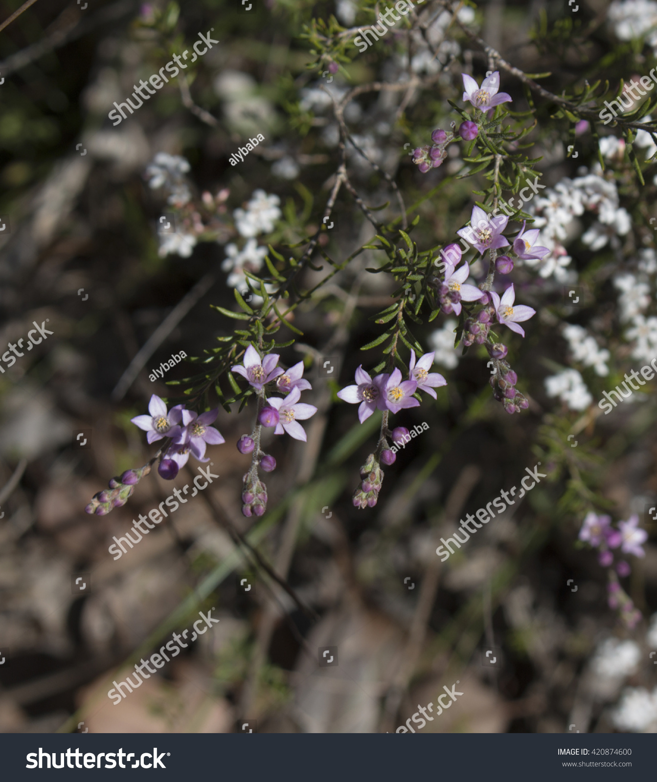 Royalty Free Delicate Pink Flowers Of Rare West 420874600 Stock