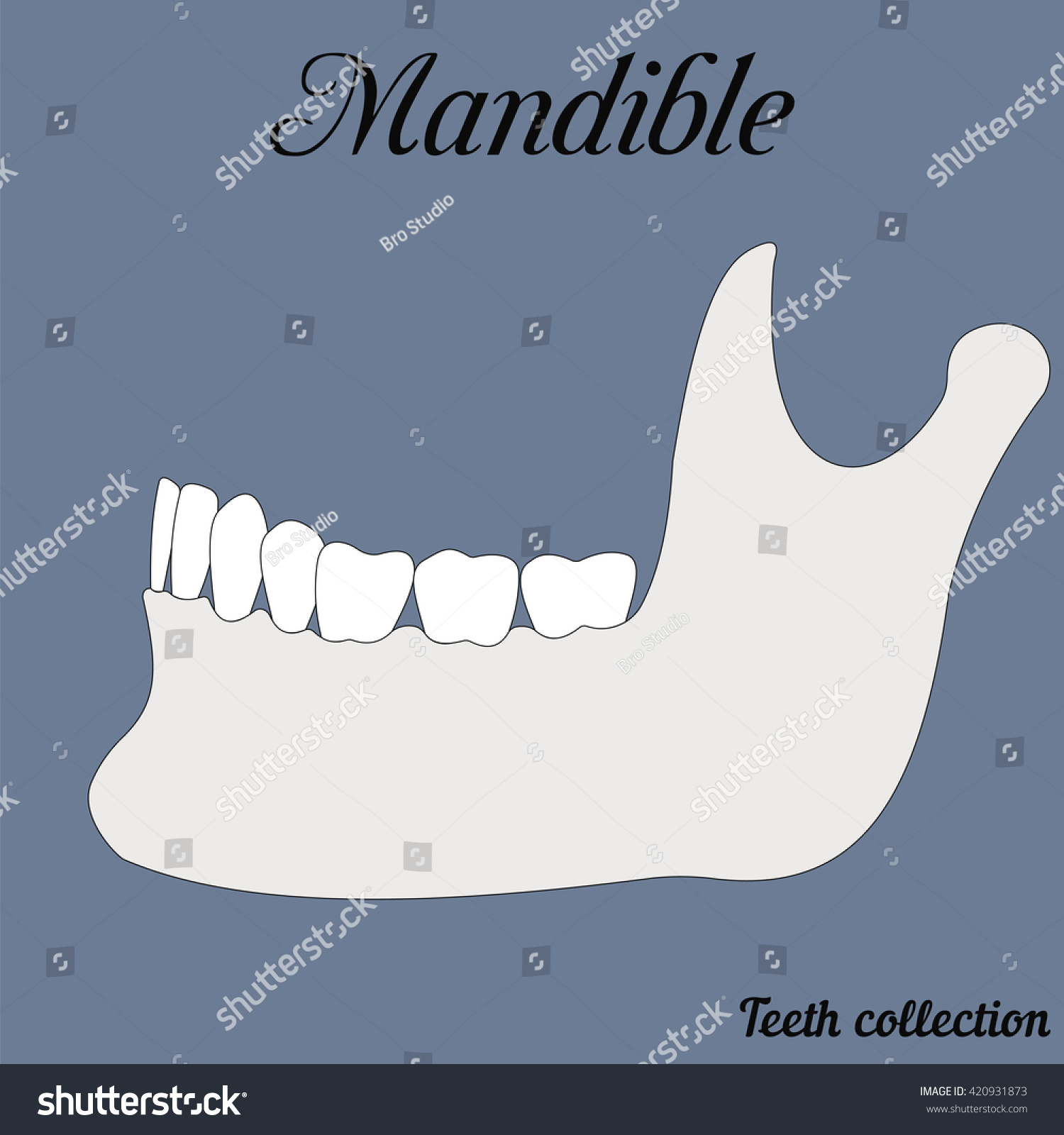 mandible bite closure of teeth incisor canine premolar molar upper and lower jaw Vector illustration for print or design of the dental clinic