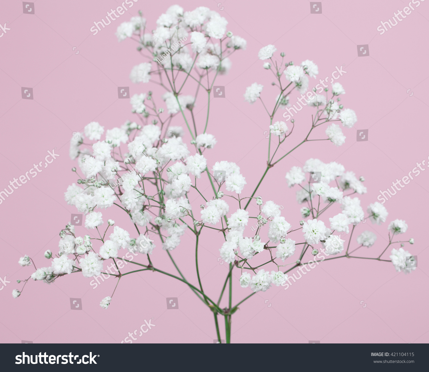 Bunch Od Babys Breath Flowers On A Light Pink Background Ez Canvas