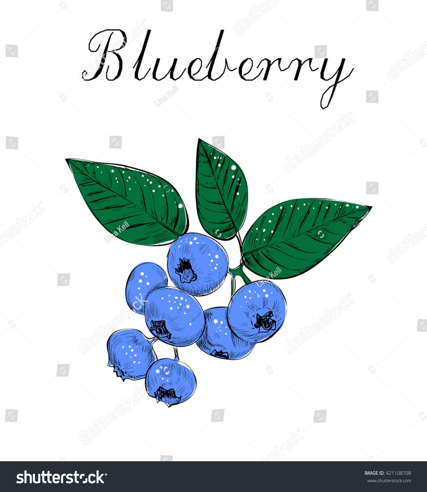 Blueberries Sketch Vector Illustration Stock Vector ...