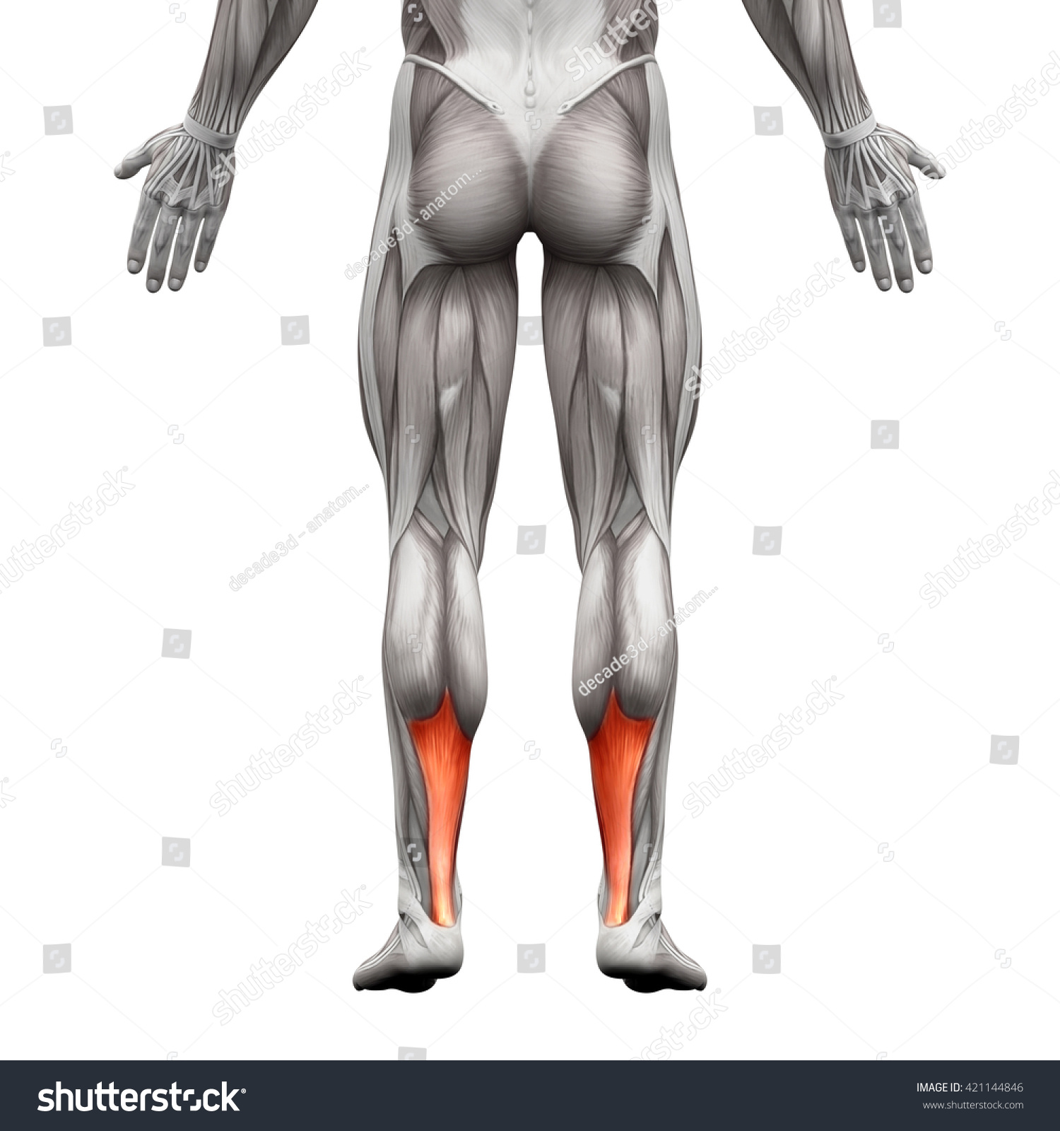 Achilles Tendon Anatomy Muscle Isolated On Stock Illustration ...