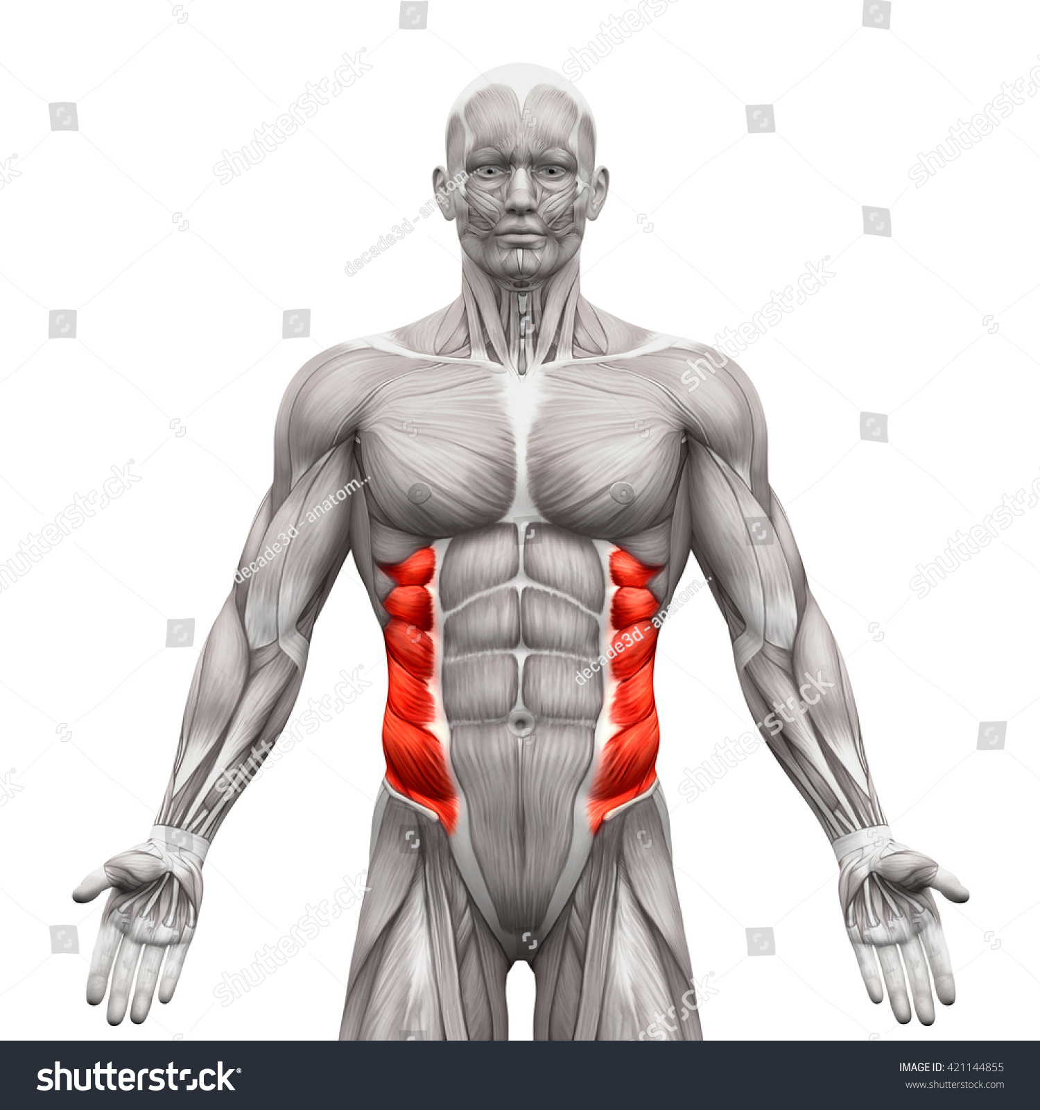External Oblique Anatomy Muscles Isolated On Stock Illustration