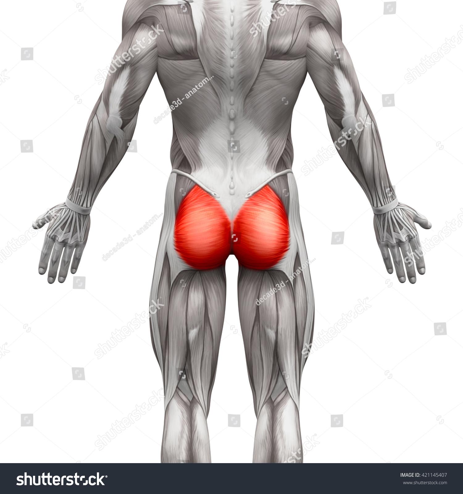 Gluteus Maximus Anatomy Muscles Isolated On Stock Illustration ...