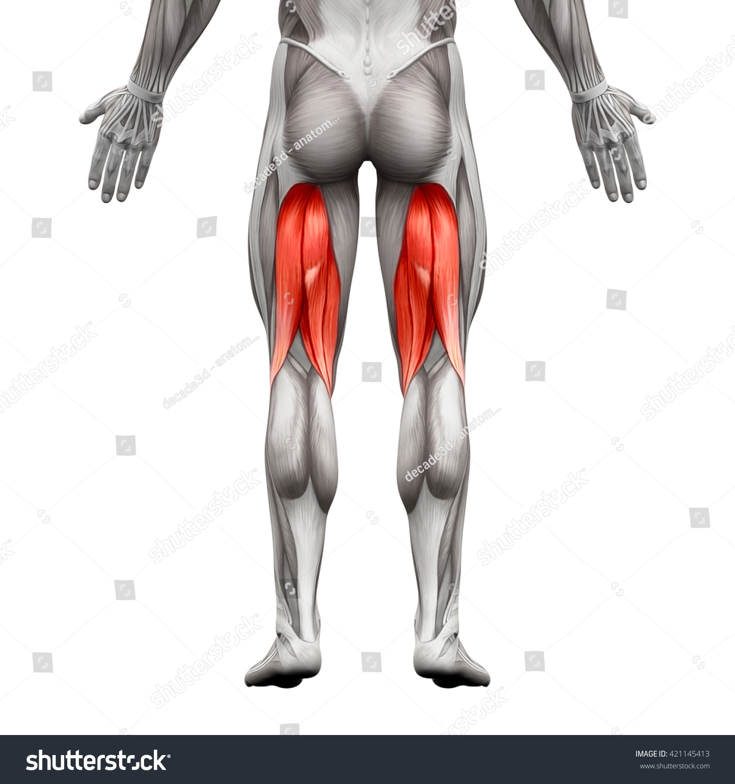 Hamstrings Anatomy Muscle Isolated On White Stock Illustration ...
