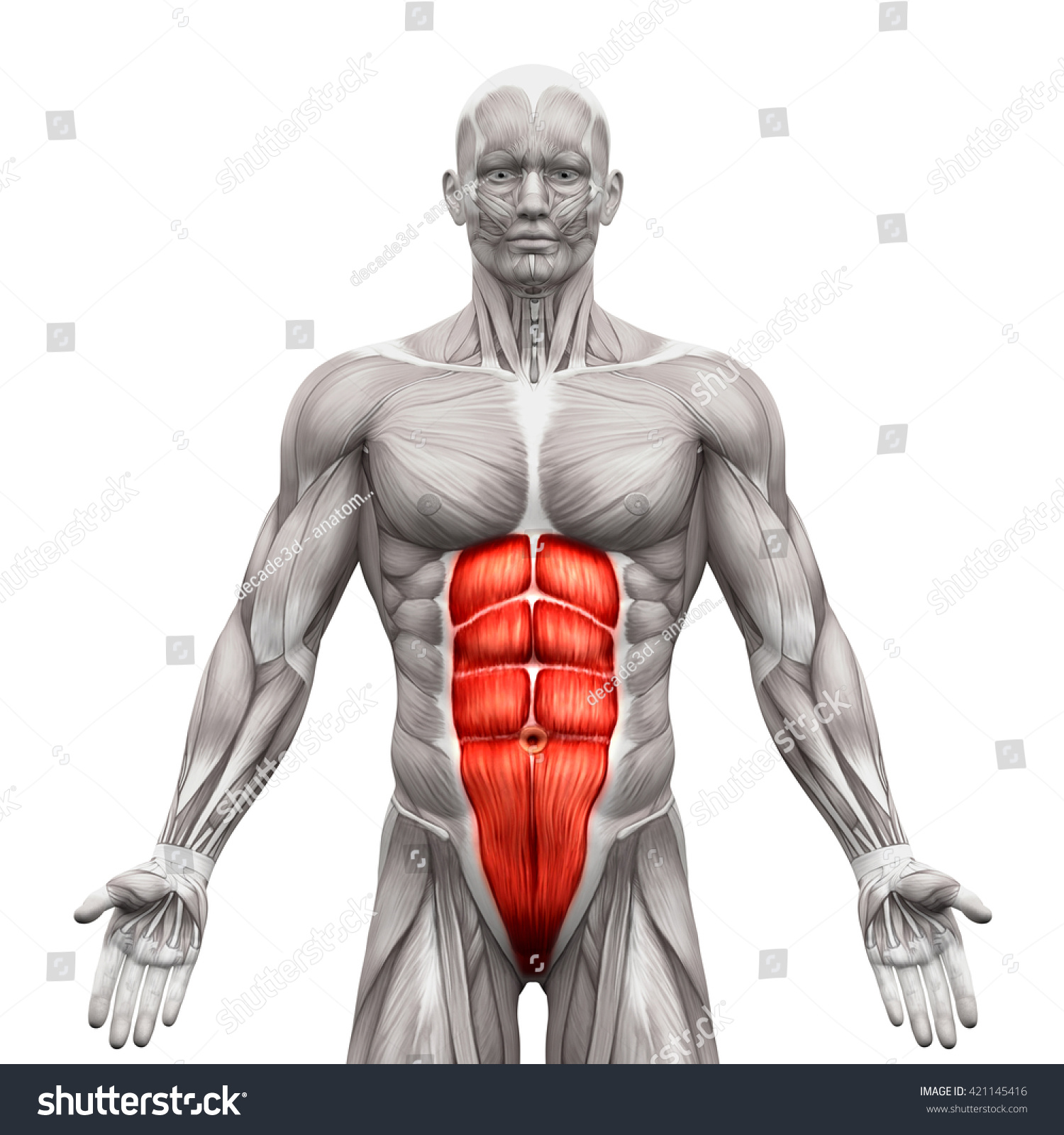 Similar Images, Stock Photos & Vectors of Rectus Abdominis Anatomy ...
