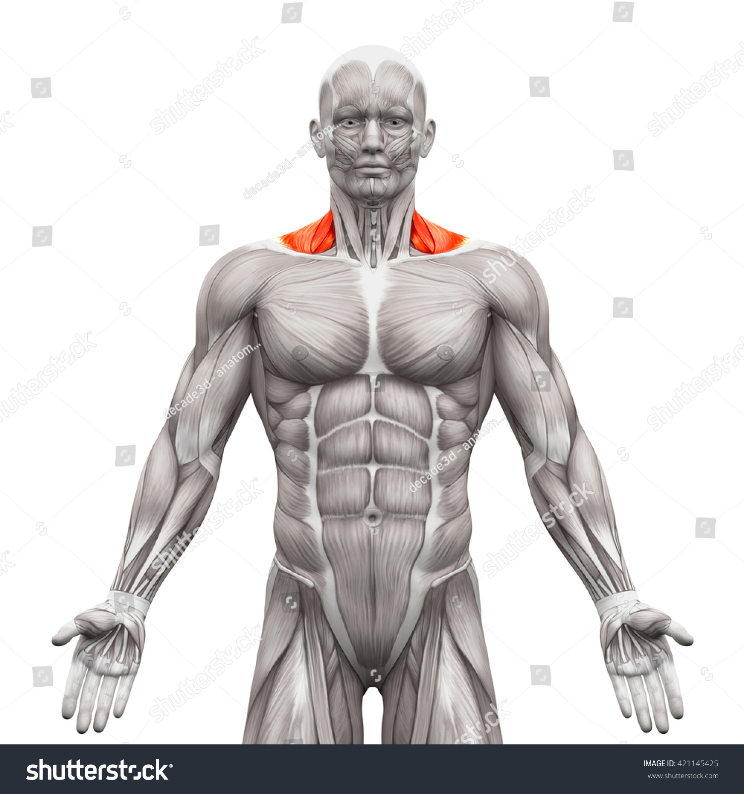 Trapezius Front Neck Anatomy Muscles Isolated Stock Illustration