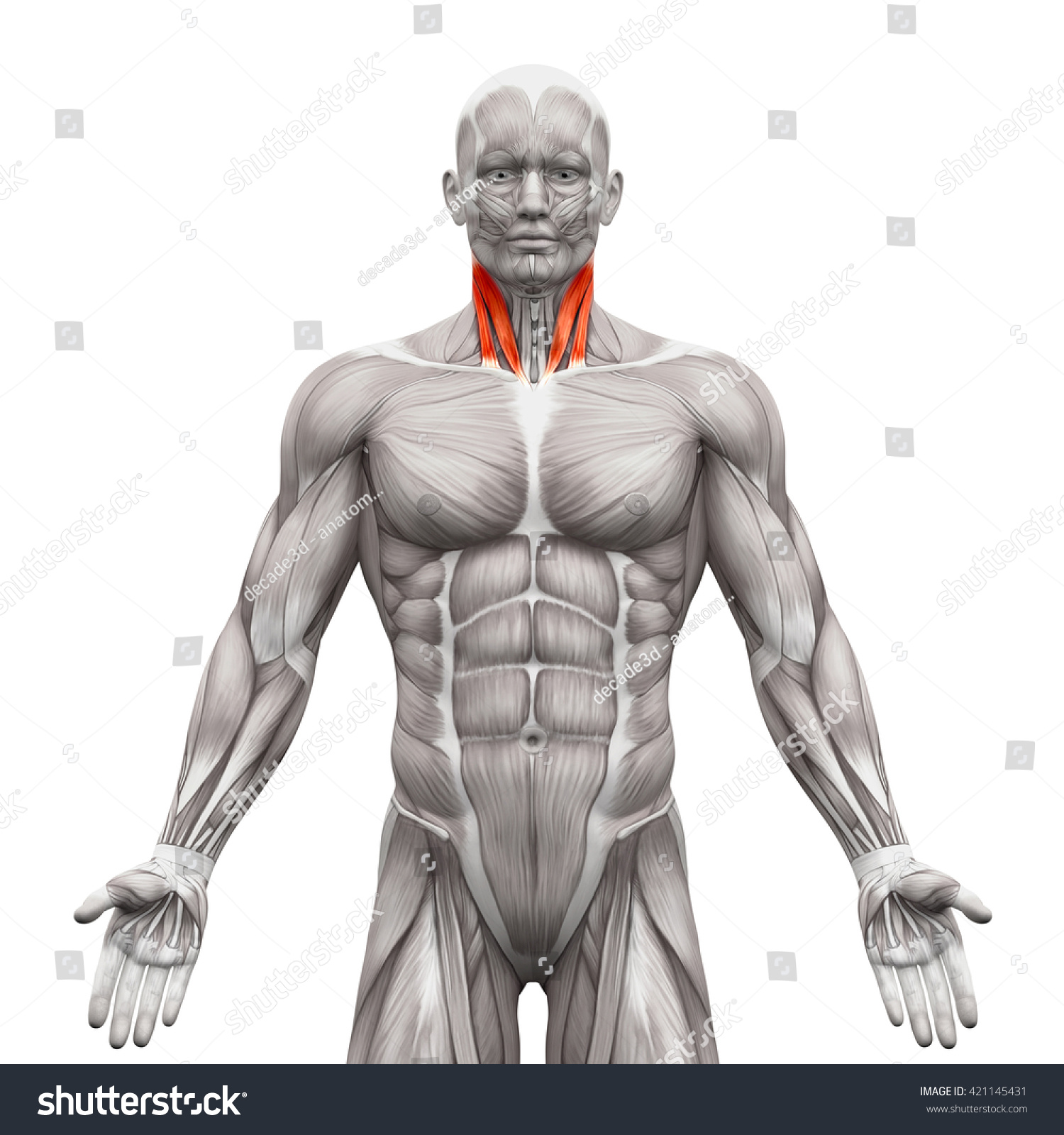 Neck Sternal Clavicular Head Anatomy Muscles Stock Illustration ...