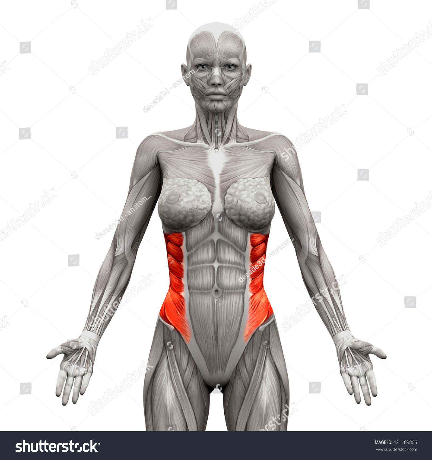 External Oblique Anatomy Muscles Isolated On Stock Illustration ...