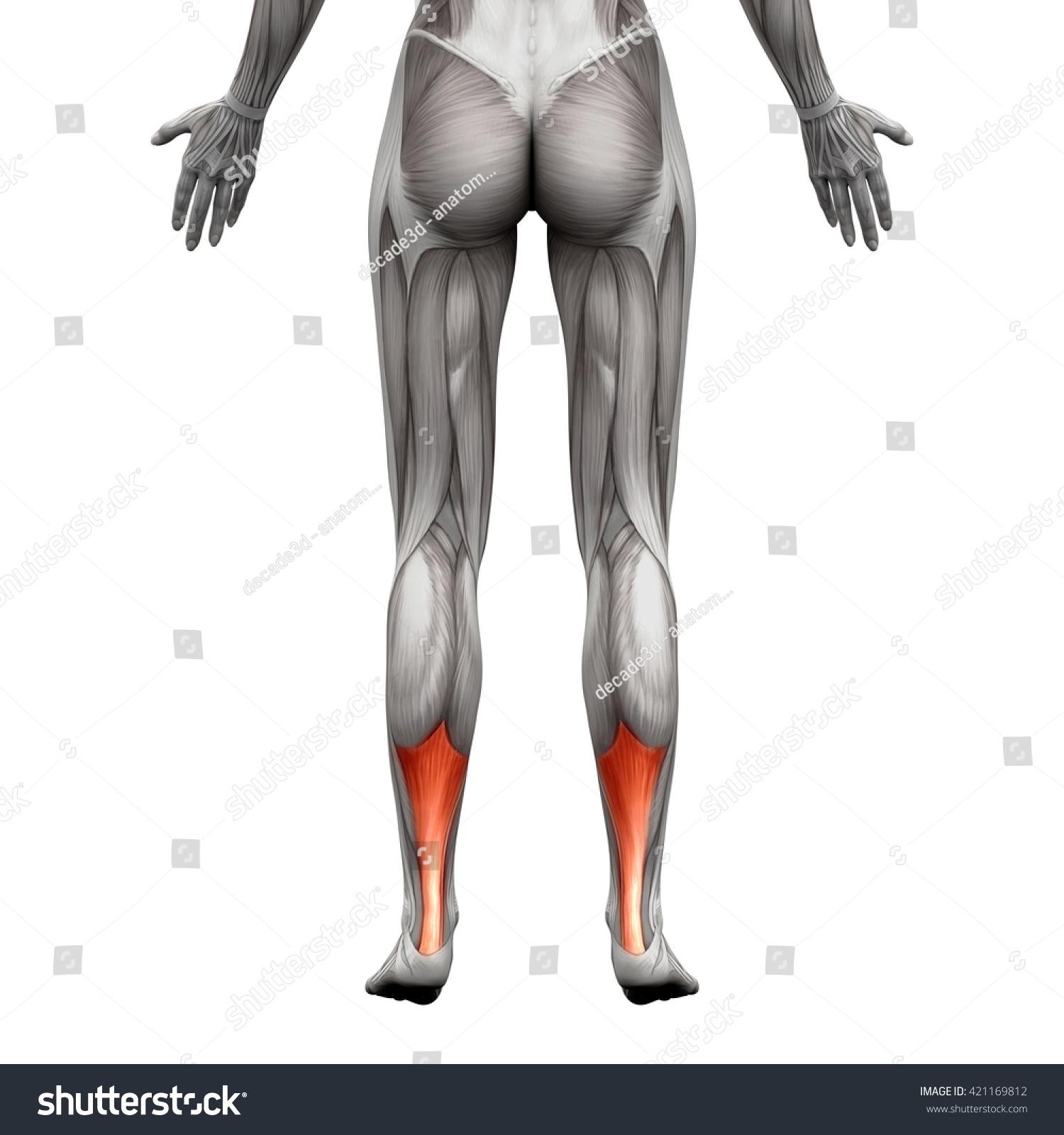 Achilles Tendon Anatomy Muscle Isolated On Stock Illustration ...